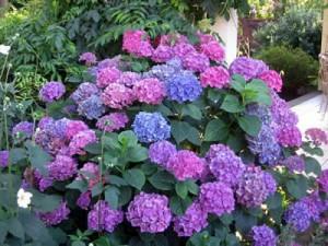 Blue, Pink, and Purple Hydrangea flowers