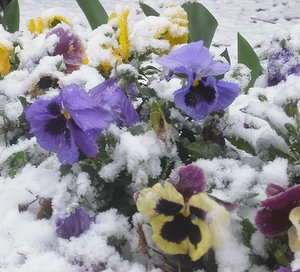 Pansy flowers in the snow