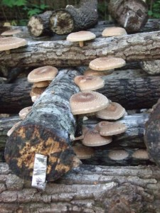 Cover photo for A FUNgi Workshop - Growing Shiitake Mushrooms