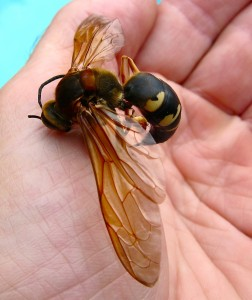 cicada killer wasp in palm of a hand
