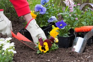 Planting potted flowers into flower beds in the garden