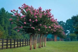 crape-myrtle-tree-row
