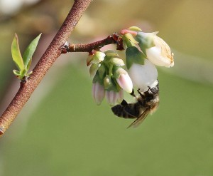 Honey bee on blueberry bloom. Photo by Debbie Roos.