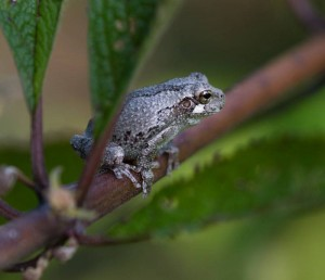 Cover photo for Chatham Conservation Partnership Meeting About Frogs and Their Habitat