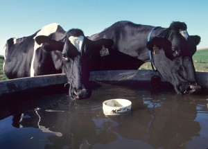 cows drinking from livestock water tank