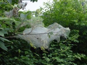 webworms-1