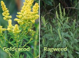 golden rod vs ragweed