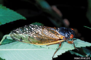 Cover photo for Periodical Cicada Hatch Expected in Western North Carolina in 2017