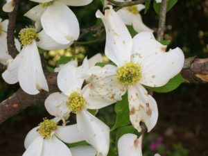 Cover photo for Wet Weather Causes Dogwood Problems