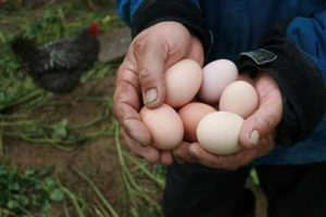 Eggs from pastured hens at Perry-winkle Farm.