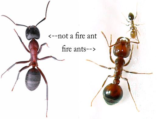 Photo of ants. Not a fire ant and fire ants