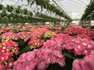 flower crop in greenhouse