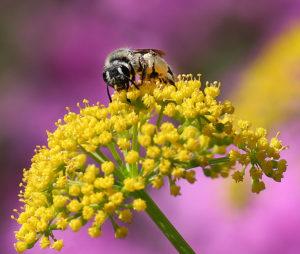 Mining bee on golden alexander.