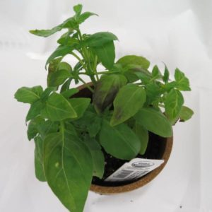 Cover photo for Basil Downy Mildew Found in North Carolina