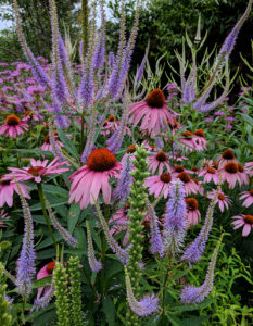 Coneflowers, culver's root, and bee balm in mid-June.