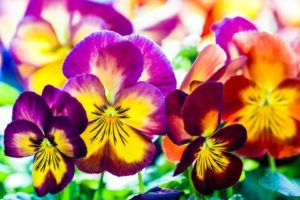 Cover photo for Fall Pansies Hold Promise of Spring