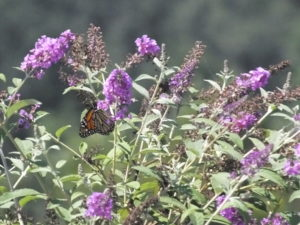 Cover photo for Butterfly Bush: Yes or No