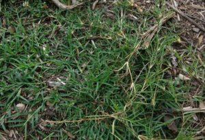 common bermuda grass or wire grass