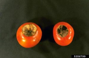 Blossom End Rot on tomatos