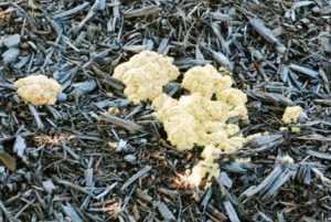 slime mold on lawn and mulch