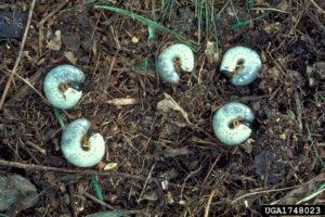 japanese beetle grubs on ground