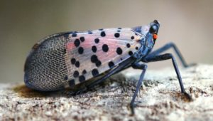 photo spotted lanternfly