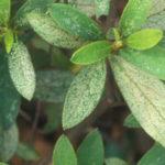 azalea with lacebugs