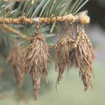 bagworms on evergreen
