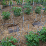 tomato plants with cages and mulch