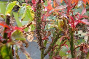 Rose with rose rosette disease