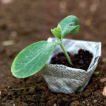 seedling plant in paper container