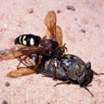 cicada killer wasp attacking a cicada