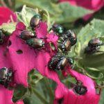 Japanese beetles on plant