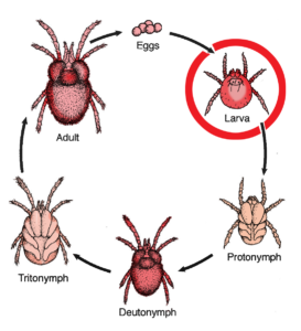 chart showing the stages of life of a chigger