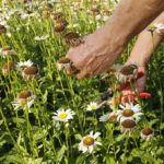 person's hands deadheading flowers