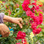 person cutting dead blooms off of roses