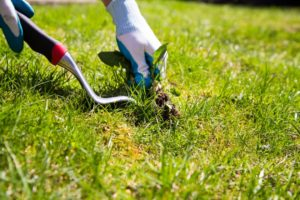 hands using tool to pull weed from lawn
