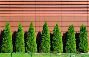 Cover photo for Donna's Plant of the Month - Emerald Green Arborvitae