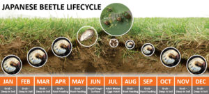 lifecycle of Japanese beetles