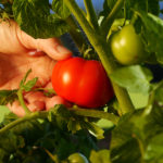 hand picking ripe tomato from plant