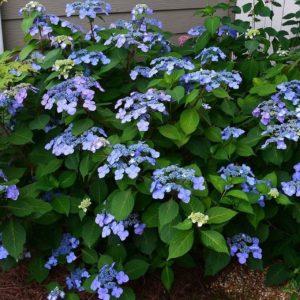 blue blooms on lacecap hydrangea