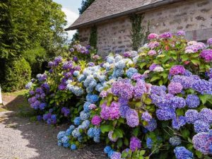 blue and pink blooms on hydrangeas