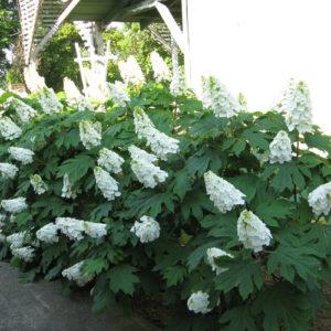 white blooms on oakleaf hydrangea