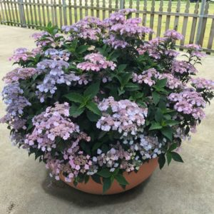 pink and blue blooms on reblooming hydrangea in container