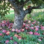 apples on the ground under an apple tree