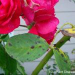 red rose bush with blackspot on leaves
