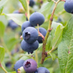 blueberry bush with ripe blueberries