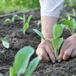 person planting cabbage transplants in the ground