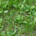 weeds in a lawn