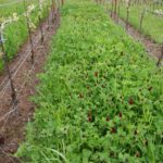 cover crop on bare garden
